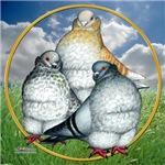 Owl Pigeons In Field