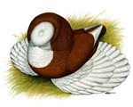Bokhara Trumpeter Pigeon
