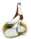 Australian Saddleback Pigeon