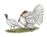 Turkeys:  White Holland
