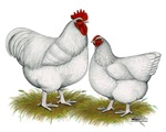 Orpington White Chickens