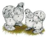 Silkies Splash Chickens