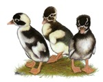 Emery Penciled Runner Ducklings