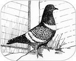 Starling Pigeon 1973