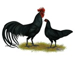 Tomaru Long Crower Chickens