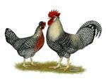 Legbar Cream Fowl