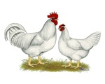 Lamona Chickens