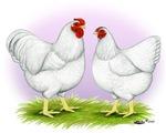 White Wyandotte Rooster & Hen