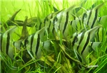 Green Fish