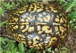 Shiny Box Turtle