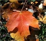 Autumn Orange Leat