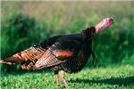 Wild Turkey Stare