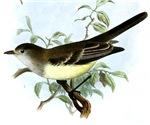 Northern Flycatcher