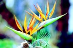 Bird of Paradise Flower Tropical