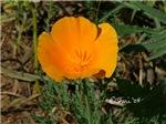 0079 California Poppy
