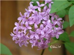 0121 Lilac Flowers