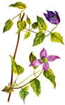 Clematis, Purple Virgin's Bower