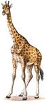 Giraffe T-Shirts & Clothing