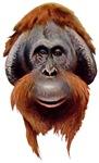 Orangutan T-Shirts