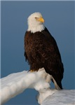 Winter Bald Eagle