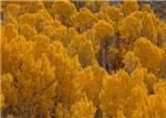 Autumn Aspen