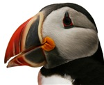 Puffin Portrait
