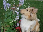 Collie Pup Smelling Flowers