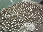 Gannets on Rock