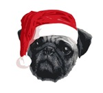 Christmas Pug. The cute pug with a santa hat.