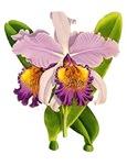 Purple Cattleyea Orchid