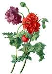 Opium Poppy Drawn From Nature