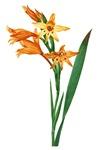 Gladiolus Cuspidatus by Pierre Joseph Redoute
