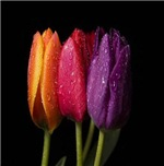Three Color Tulip