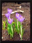 springtime crocus I