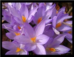 crocus - spring awakening II