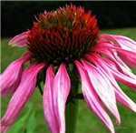 .echinacea.