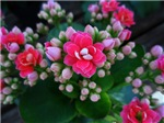.pink kalanchoe.