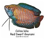 Bettas, Gouramis and other Anabantoids