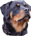 The Noble Rottweiler