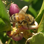 Honeybee Close Up