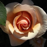 Peach Rose