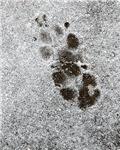 Pawprints in Snow