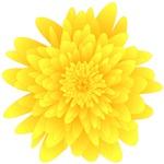 Sunburst Yellow Dandelion Flower