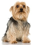 The Silky Terrier