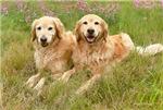 Golden Retriever Smiles