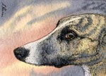Brindle whippet greyhound dog