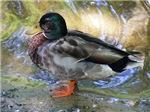 Ducks & Swans