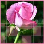 Rose Squres