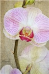 Beautiful Orchid