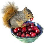 Squirrel with Cranberries